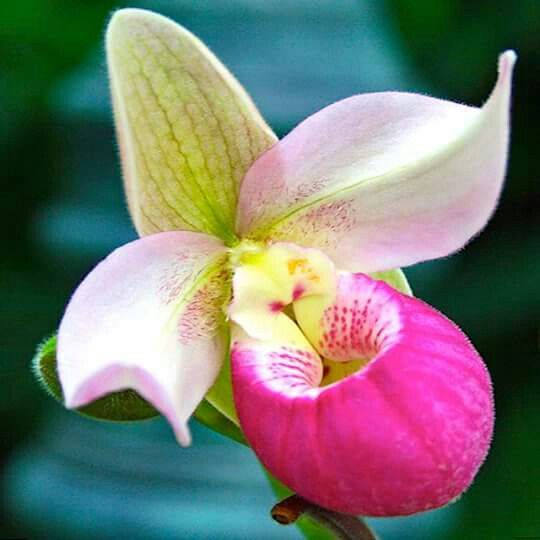 Lady slipper orchids