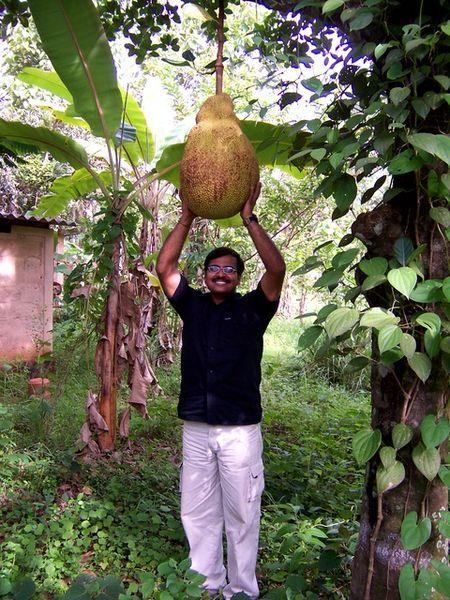 Best 25+ Jackfruit tree ideas on Pinterest   Humidity in ... Soursop Tree In Kerala