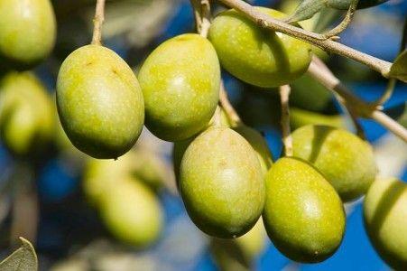 Riebeek Valley Olive Festival #food #olives