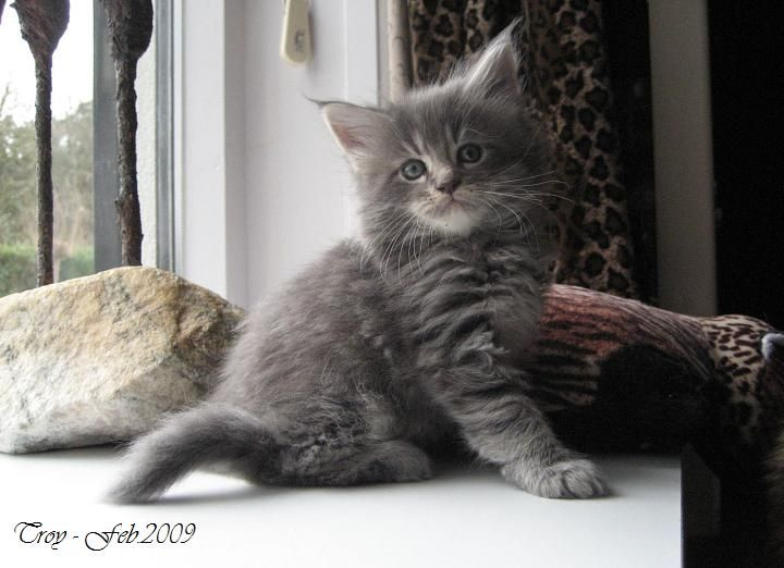 """Maine Coon, kitten cuteness overload. NL* IP.Lady Like Atomic Actroy. """"i'm the cutest"""" Photo by #Elliekruithof."""