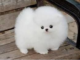 24 best images about Pomeranian Babies on Pinterest | Baby ...