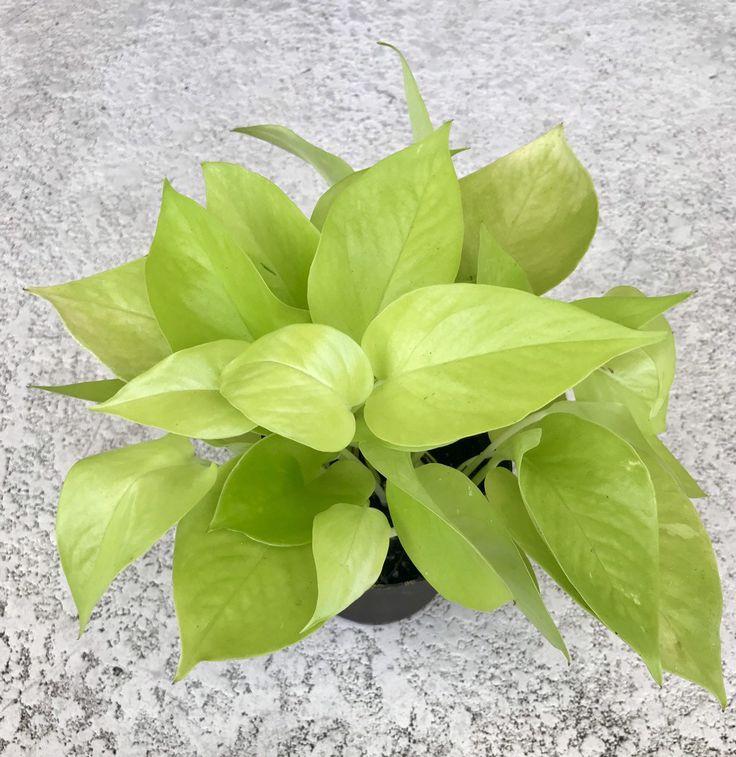 Neon Pothos, Epipremnum aureum, Neon Devil Ivy, Money plant, Pothos plant, Houseplant, plant – Houseplants