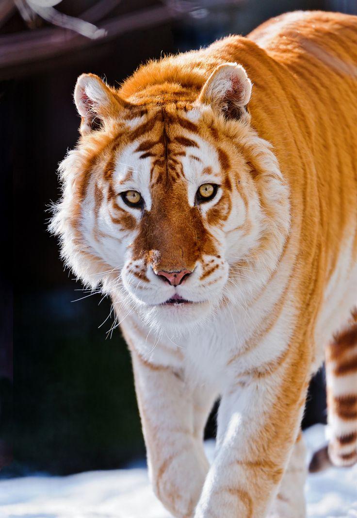 Ginger animal of the week Golden Tiger (color variation ...