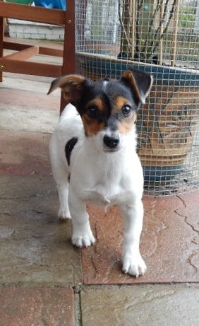 Scamp – 15 week old male Jack Russell Terrier cross Chihuahua