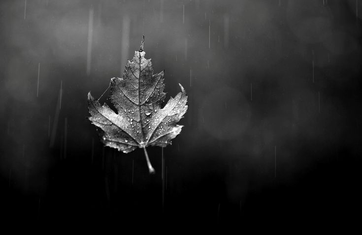 autumn-Maple-Leaves-black-and-white-photography.jpg (2000×1300)