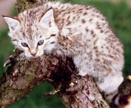 Woestijnkat. // De woestijnkat of zandkat is een klein roofdier uit de familie der katachtigen. Hij komt voor in de woestijngebieden van Noord-Afrika en Zuidwest-Azië, van de Sahara tot Beloetsjistan, Pakistan. Wikipedia