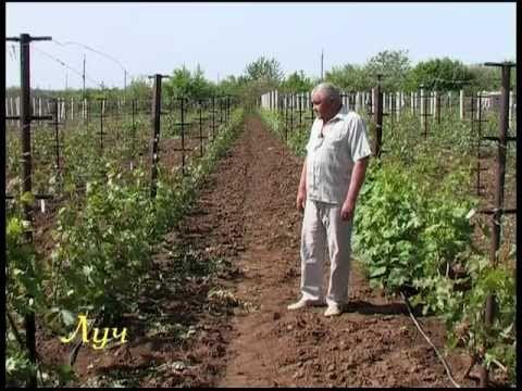 Секреты виноградарства (зелёная обрезка) — Яндекс.Видео