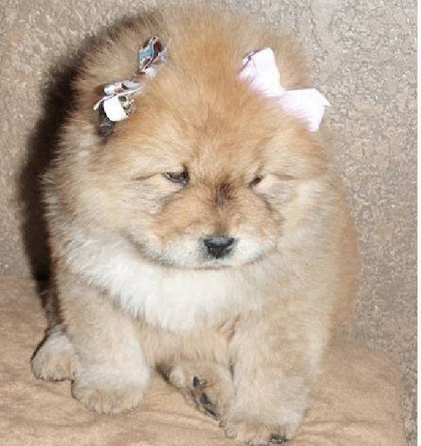 Free+Chow+Chow+Puppies : Chow Chow Panda Dog For Sale ...