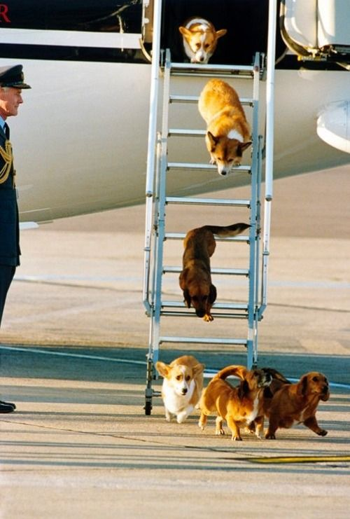 plane dogs - I think these might belong to Her Royal Highness, Queen Elizabeth?  They look like her corgis.  SO adorable.
