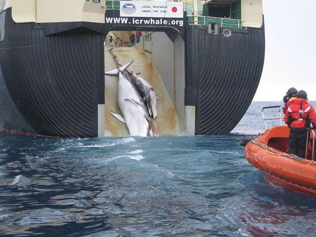 Una ballena Minke y de ternera se extraen en un buque ballenero japonés en el Océano Antártico.
