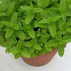 Перечная мята: лечебные свойства травы, настойки и эфирного масла, применение