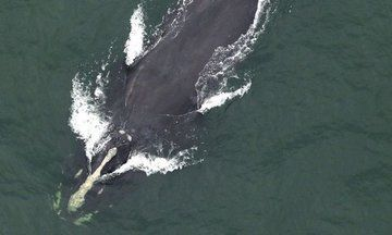 North Atlantic Right Whale, One Of The World's Rarest, Spotted Off South Carolina