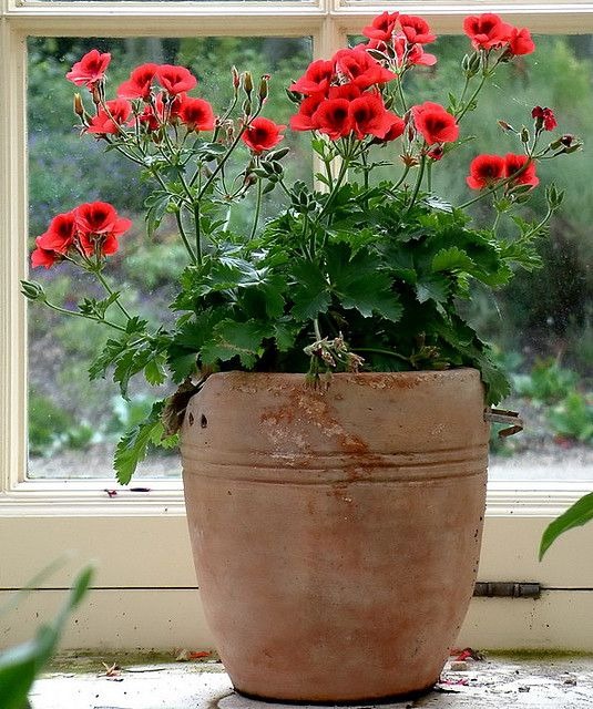 the colour combination of the terracotta and the coral colour of the pelargonium how to