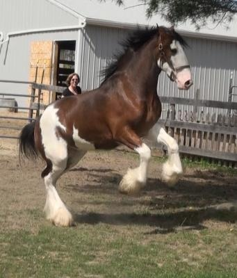 Clydesdale --- beautiful!
