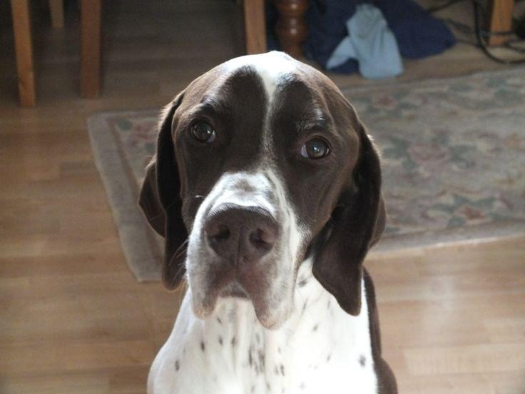 velho rosto cão do ponteiro