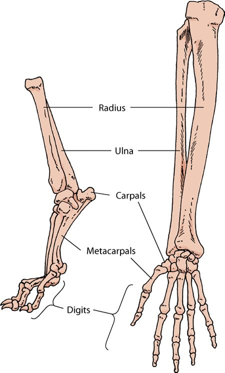 Dog Leg Skeletal Anatomy | Animal Leg Bones