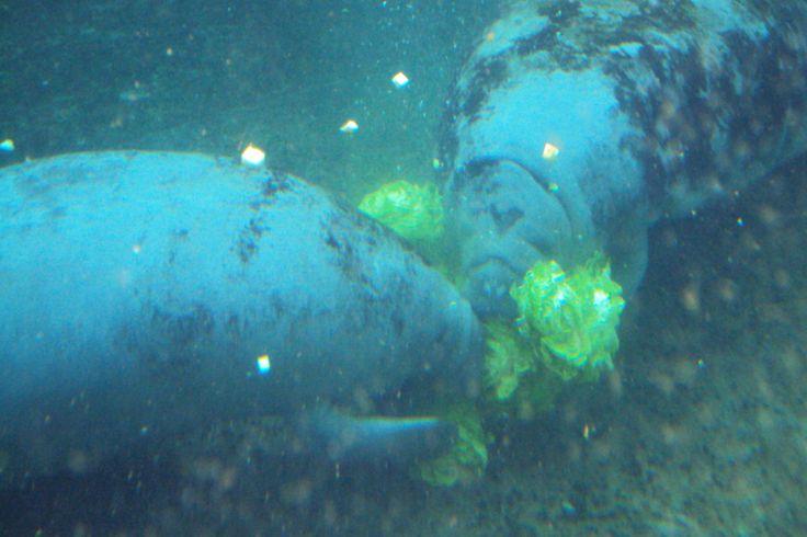 Zeekoeien, Parc Zoologique de Paris, 29-08-2015