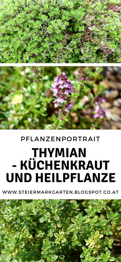 Thymian wird hauptsächlich in der mediterranen Küche eingesetzt, ist aber auch…