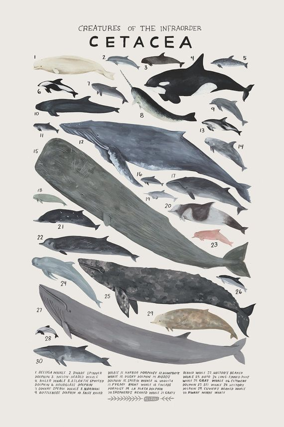 Creatures of the infraorder Cetacea, 2016. Art print of an illustration by Kelsey Oseid. This poster chronicles 30 amazing whales, dolphins, and porpoises from the taxonomic infraorder Cetacea.   Print measures 12x18 inches. Printed in Minneapolis on acid free 80# Mohawk Superfine cover.  Packaged rolled with kraft tissue in a protective tube.