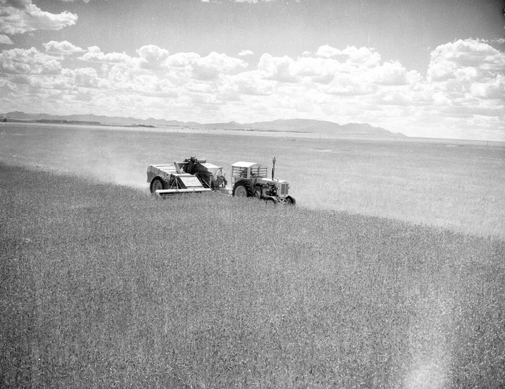 1956 Harvesting wheat near Willaura. Ararat. www.vicroads.vic.gov.au/centenary VicRoads Centenary 1913 - 2013.