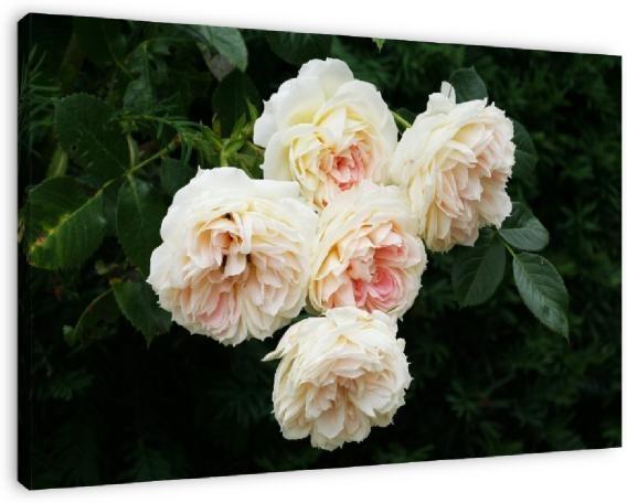 Engelse rozen in een Franse tuin te koop als dibond, canvas of (ingelijste) poster van Yvonne Blokland