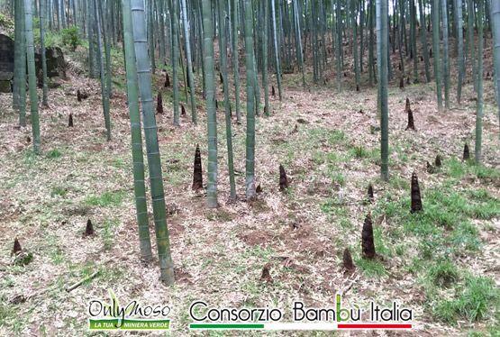 Germogli in crescita di Bambù gigante Onlymoso