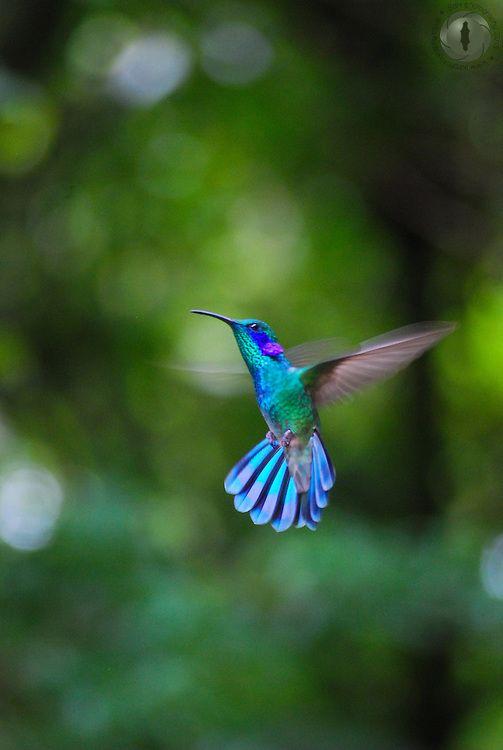 A green violetear hummingbird. Hermoso por fuera... Hermoso por dentro!!