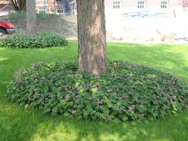 Big Root Geranium G Macrorrhizum Ground Cover Plants Shade Garden Plants