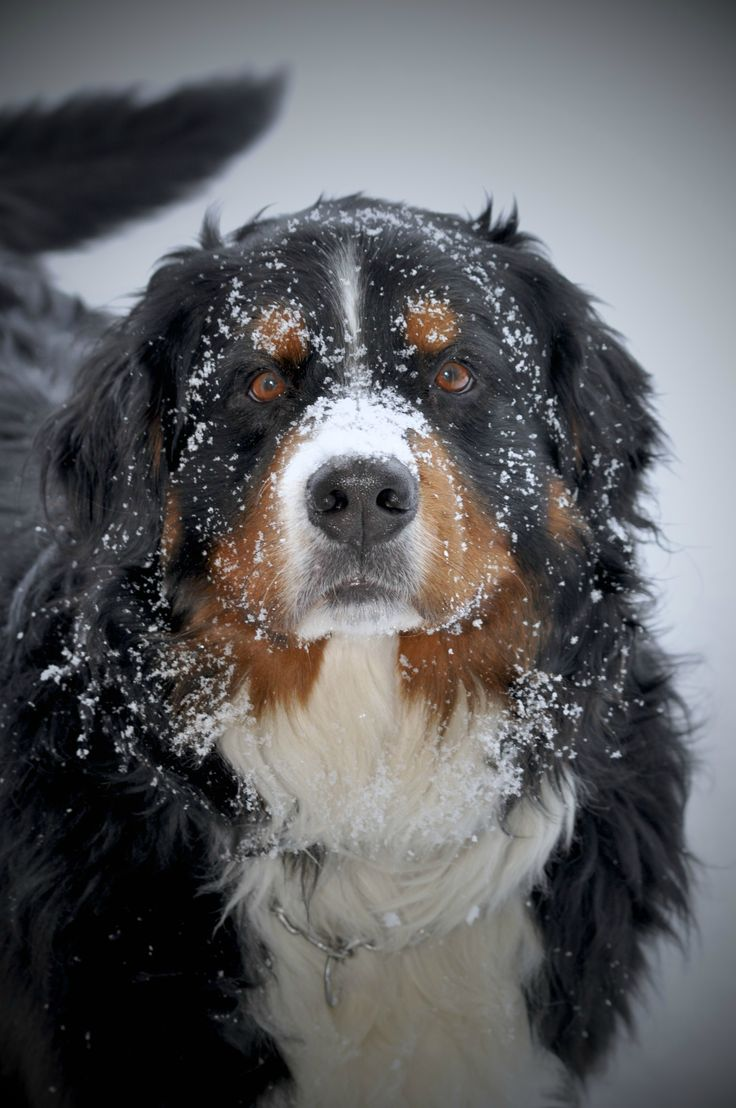 Bernese mountain dog! Such beautiful ,loving dogs!  Makes me cry!..Amy our Berner passed away and I miss her