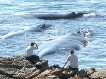 De kelders/Hermanus, South Africa - Whale Watching