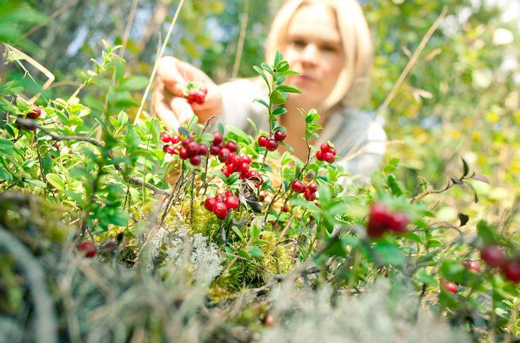 Berry picking -Rovaniemi, Lapland, Finland