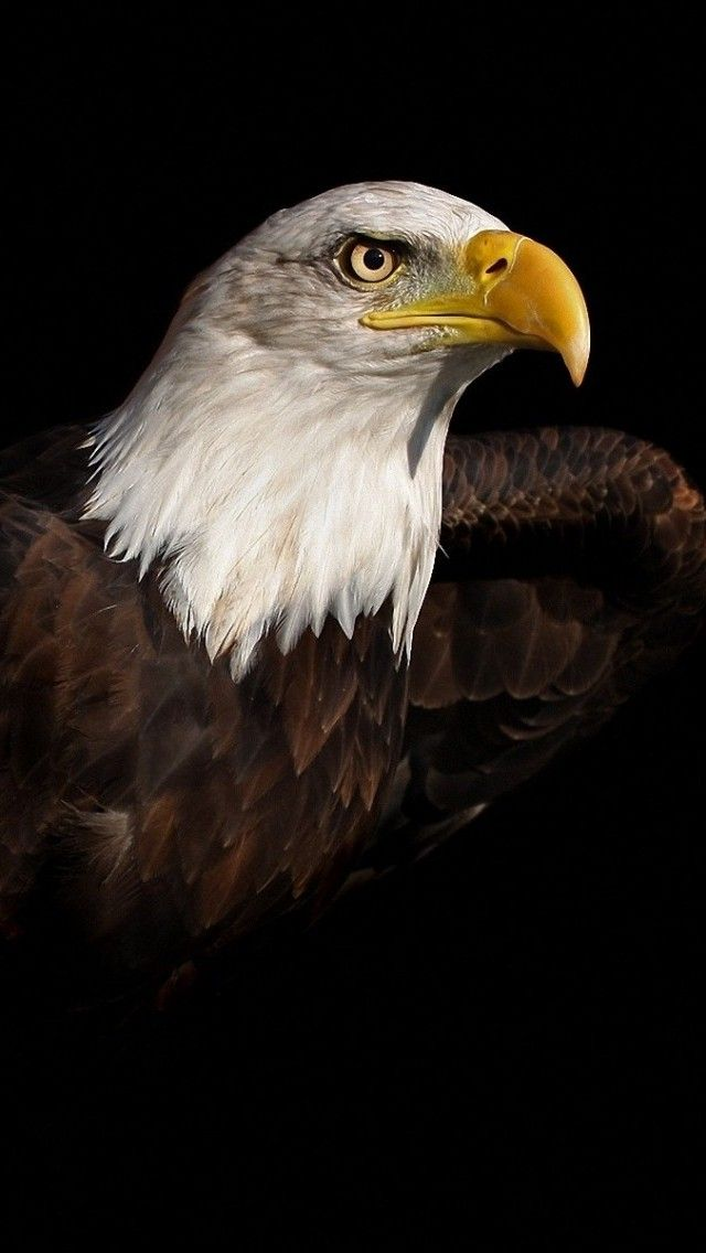 Bald Eagle iPhone 5 / 5S / 5C Wallpaper - Eagle wallpaper for iphone 4