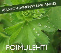 Arktiset aromit - Kuusenkerkkä