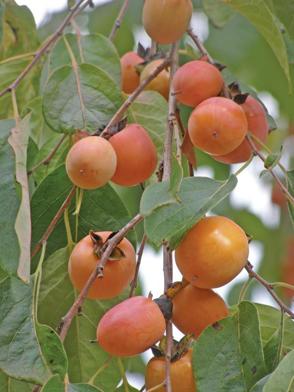 Persimmon Recipes, Wine, Patience, and History: How to Make it!  Indiana Persimmons in September Native American  #persimmons #persimmonwine #persimmonjelly