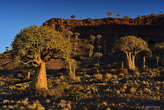 Nieuwoudtville Quiver Tree Forest   Flickr - Photo Sharing!