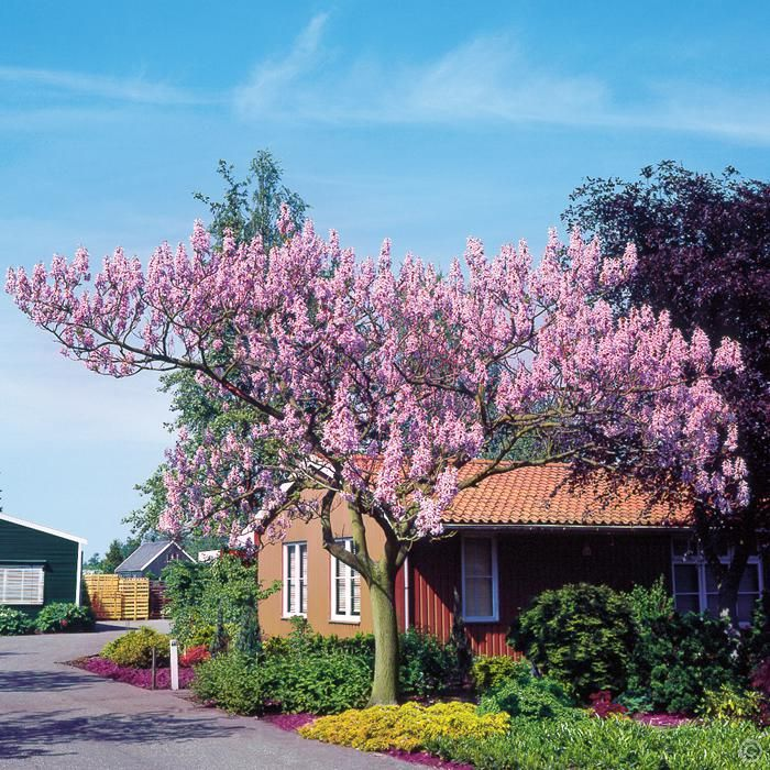Paulownia tomentosa - 1 tree Buy online order yours now