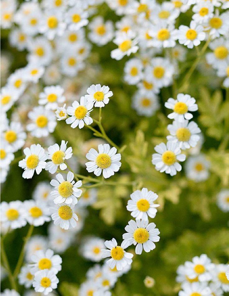 Best Bouquet Flowers To Grow Feverfew Bouquet Beautiful Flowers Feverfew Plant