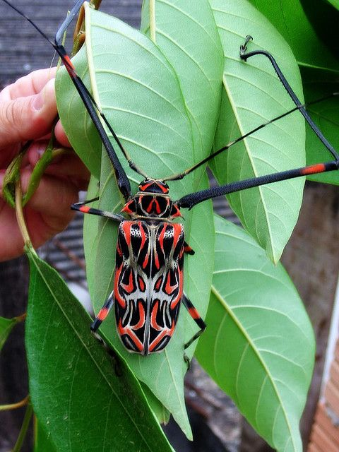 :Male specimens of thegiant harlequin beetle (Acrocinus longimanus) use their elongated forelegs to fight off the competition when guarding females and oviposition (egg-laying) sites.
