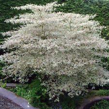 * Cornus Alternifolia Argentea * Pagoda Wedding Cake Tree Dogwood - 3L Pots