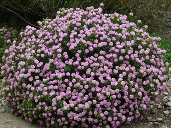 Pimelea ferruginea | Pink Rice Flower, 1m high, 1.5m wide, salt and wind tolerant, full sun. Flowers spring to late summer