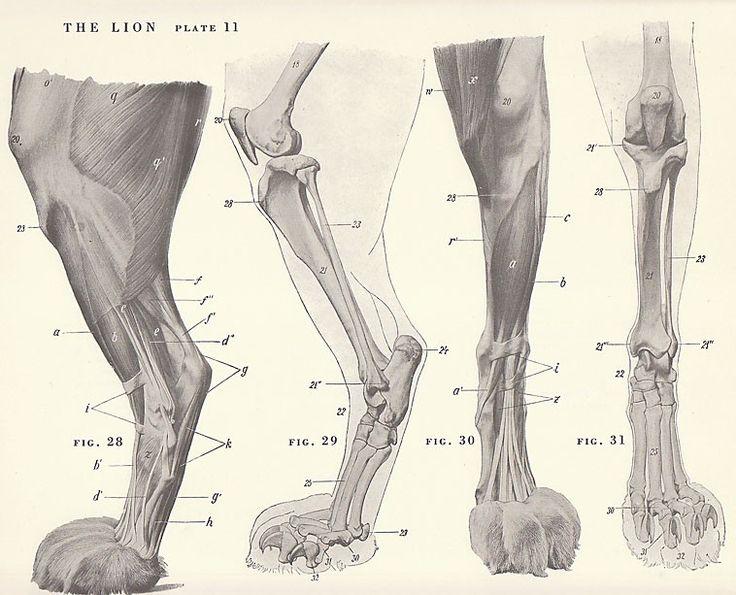 Lion Paw Anatomy Vintage lion paw foot