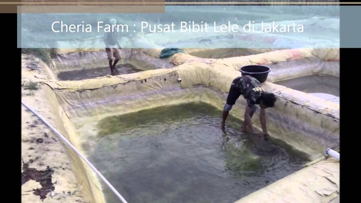 Jual Benih dan Bibit Lele Sangkuriang di Jakarta. Dijamin Oke Banget