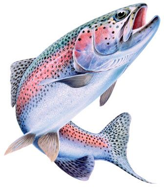 469 best fish art trout salmon images on pinterest for Best trout fishing near me