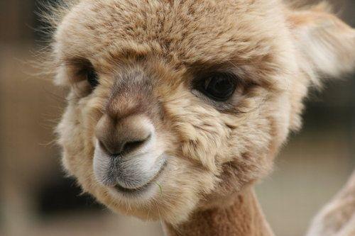 HiiCute Animal, Baby Llamas, Creatures, Baby Camel, Baby Alpacas, Things, Smile, Animal Photos, Adorable Animal