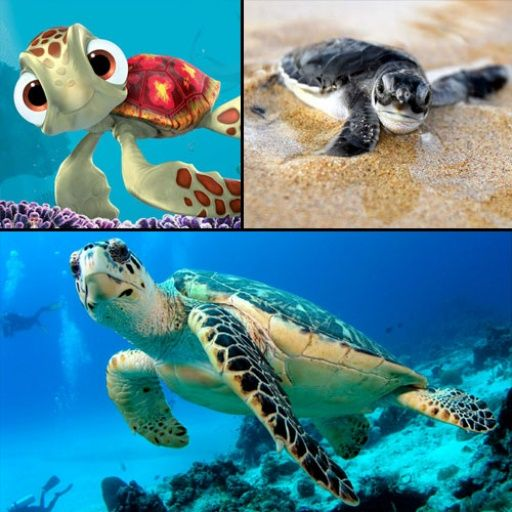 Hawksbill Turtle Eretmochelys imbricata one of top 10 endangered species unknown population status & at risk due to poaching and pollution