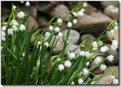 114 best plants in our garden images on pinterest garden plants leucojum summer snowflakes white small flowers leucojum bulbs jumbo flowers mightylinksfo