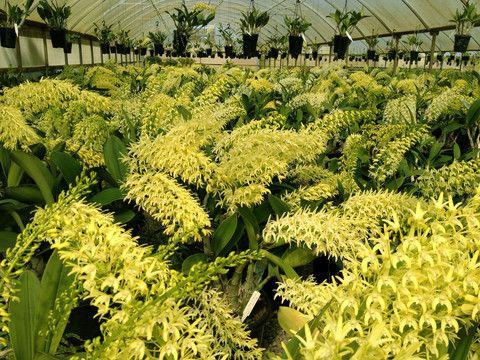 Australian Orchid Nursery