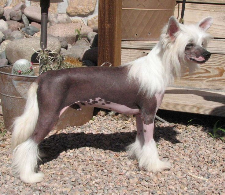 1000+ images about Chinese Crested Hairless on Pinterest ...