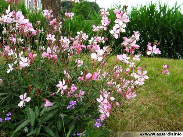 Gaura lindheimeri(linheimers prachtkaars) bloei:juli-okt,100-150cm hoogte,winterhard