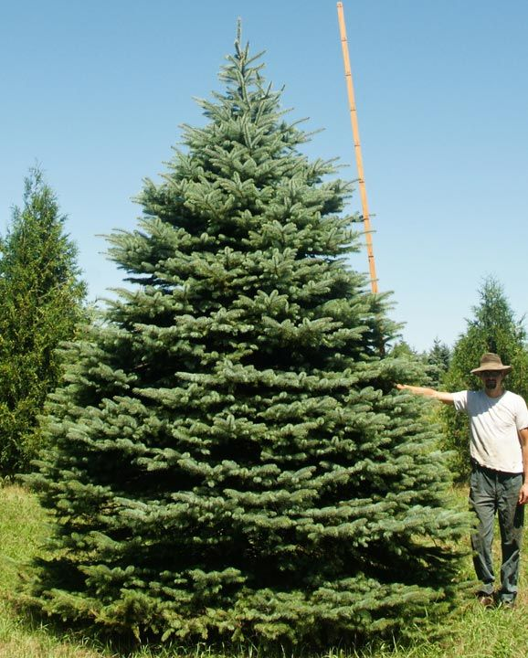 15 Colorado Blue Spruce Majestic Trees Pinterest
